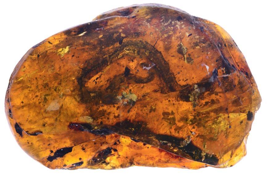 Xiaophis myanmarensis
