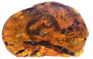 Xiaophis myanmarensis 琥珀 蛇 赤ちゃん